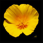 Mexican Gold Poppy