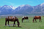 Horses in Carson Valley